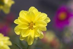 beau jaune Images stock