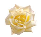 Beau jaune-clair s'est levé dans un jardin Photographie stock libre de droits