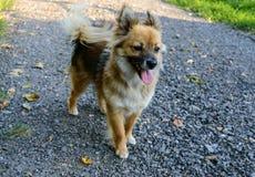 Beau jaune de chien - la coloration brune avec sa langue traînant est sur le chemin Photo libre de droits