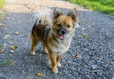 Beau jaune de chien - la coloration brune avec sa langue traînant est sur le chemin Photos libres de droits