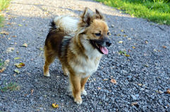 Beau jaune de chien - la coloration brune avec sa langue traînant est sur le chemin Photographie stock