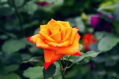 Beau jaune-orange rouge s'est levé Photographie stock