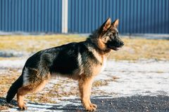 Beau jeune berger allemand Puppy Dog de Brown Images stock
