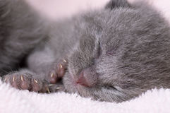 Beau jeune chat écossais Photo libre de droits
