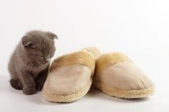 Beau jeune chat écossais Photos libres de droits