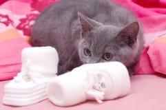 Beau jeune chat écossais Photo stock