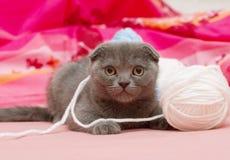 Beau jeune chat écossais Photos stock