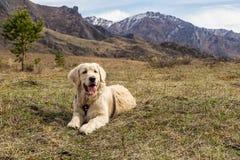 Beau jeune chien se trouvant à l'herbe au fond de montagnes Photos libres de droits