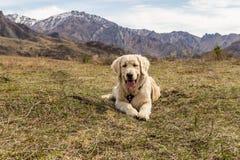 Beau jeune chien se trouvant à l'herbe au fond de montagnes Image stock