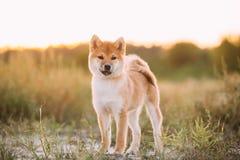 Beau jeune chiot rouge de Shiba Inu se tenant extérieur dans Gras images stock