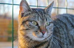 Beau jeune portrait rayé sauvage de femelle de chat Photographie stock libre de droits