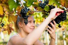 Beau jeune woamn blond moissonnant des raisins dans le vignoble Images libres de droits