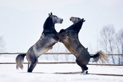 Beau jouer de chevaux extérieur en hiver images stock