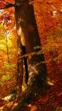 Beau jour ensoleillé dans la forêt d'or d'automne photos libres de droits