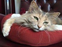 Beau Kitty aux yeux verts Image libre de droits