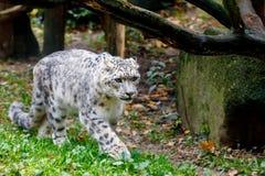 Beau léopard de neige de chat, uncia d'Uncia Photo libre de droits