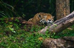 Beau léopard dormant profondément dans la forêt image libre de droits