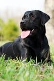 Beau Labrador Images libres de droits