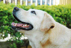 Beau Labrador Photographie stock libre de droits