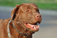 Beau Labrador brun Photo stock
