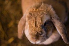 Beau lapin de ferme de Brown dans le jour d'été Photographie stock