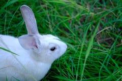 Beau lapin de l'Asie sur le champ d'herbe verte photos stock