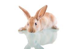 Beau lapin se trouvant vis-à-vis de Photographie stock libre de droits