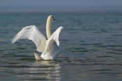 Beau lat adulte blanc de cygne muet Olor de Cygnus - répandez ses ailes Images stock