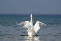 Beau lat blanc de cygne muet Olor de Cygnus - répandez ses ailes Image libre de droits