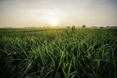 Beau lever de soleil à la rizière usine verte de paddy avec la rosée maison d'abandon entourée par le paddy vert Image stock