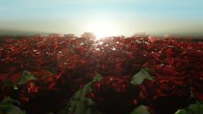 Beau lever de soleil calme au-dessus du champ des roses rouges banque de vidéos