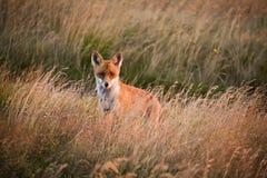 Beau lever de soleil de montagne avec le renard photo stock