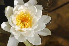 Beau lilly Photo libre de droits