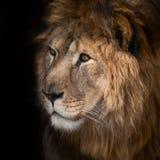 Beau lion Images libres de droits