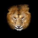 Beau lion Images stock