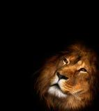 Beau lion Photo libre de droits