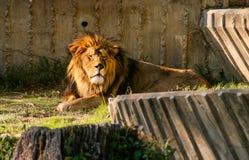Beau lion avec les yeux fermés se reposant au coucher du soleil image stock