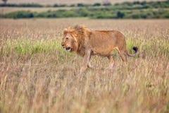 Beau lion dans le buisson au masai Mara Photo stock