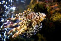 Beau Lion Fish Pterois Swimming Alone dans un grand aquarium Image libre de droits