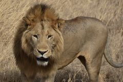 Beau lion masculin dans le cratère de Ngorongoro de la Tanzanie photo stock