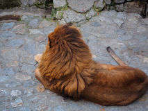 Beau lion par derrière Images stock