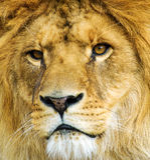 Beau lion puissant photographie stock