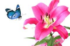 Beau lis royal rose et papillon bleu Images stock