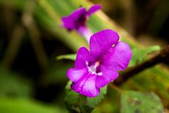 Beau lituiflorum de floraison de Dendrobium photographie stock libre de droits