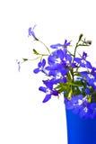 beau lobelia de fleurs Photos stock