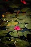 Beau lotus Image libre de droits