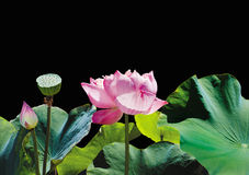 Beau lotus Photo libre de droits