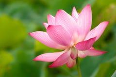 Beau lotus Images stock