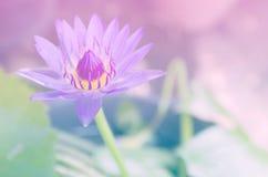 Beau lotus avec des filtres de couleur Photo libre de droits