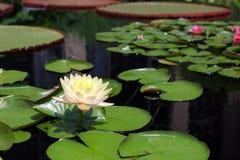 Beau lotus blanc Images stock
